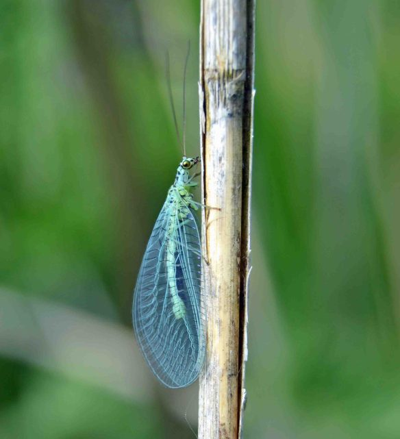 29.05.16. Blue Lacewing, No.6 tank, frodsham Marsh. Bill Morton