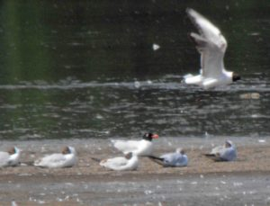 29.05.16. Mediterrean Gull, No.6 tank, Frodsham Marsh. Bill Morton