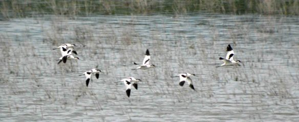 15.06.16. Avocets, No.6 tank, Frodsham Marsh. Bill Morton (1)