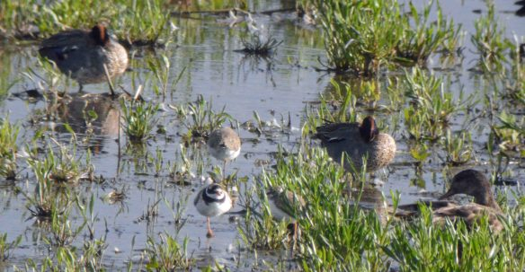20.06.16. Ringed Plover and chicks, No.6 tank, Frodsham Marsh. Bill Morton (6)
