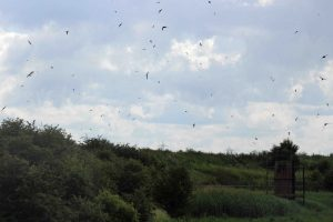 24.06.16. Swifts, No.8 tank, frodsham Marsh. Paul Ralston (1)