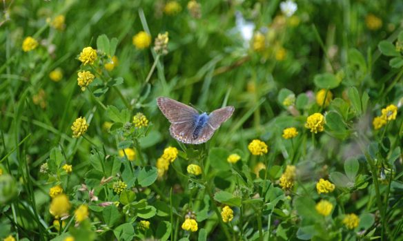 25.06.16. Blue Butterfly, I.C.I tank, Frodsham Marsh. Bill Morton (1)