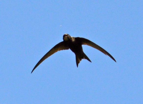25.06.16. Common Swifts and wind turbines, No.6 tank, Frodsham Marsh. Bill Morton (26)