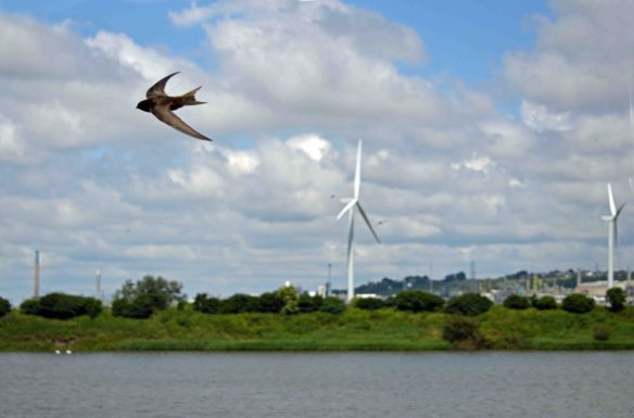 25.06.16. Common Swifts and wind turbines, No.6 tank, Frodsham Marsh. Bill Morton (38)
