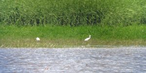 25.06.16. Little Egrets, No.6 tank, Frodsham Marsh. Bill Morton (3)