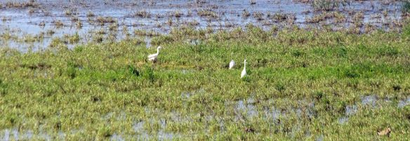 26.06.16. Little Egrets, No.6 tank, Frodsham Marsh. Paul Ralston.