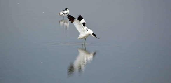 26.07.16. Avocet, Titchwell, North Norfolk. Bill Morton (11) - Copy
