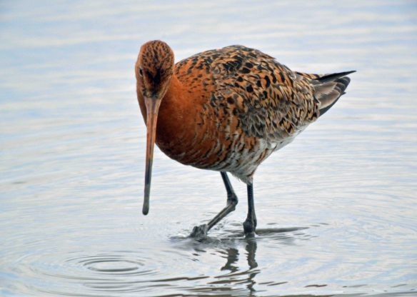 26.07.16. summer Black-tailed Godwit, Titchwell, North Norfolk. Bill Morton (17) - Copy