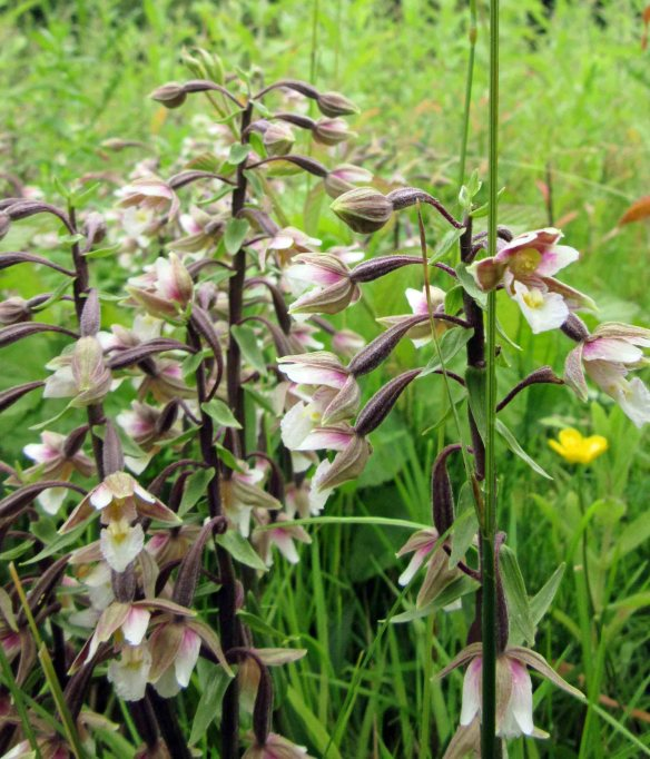 29.06.16. Marsh Helleborine, Wigg Island. Cheshire. Bill Morton (6)