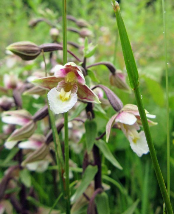 29.06.16. Marsh Helleborine, Wigg Island. Cheshire. Bill Morton (7)