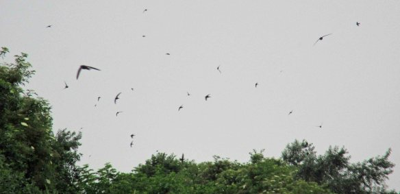 30.06.16. Common Swifts, No.5-6 tanks, Frodsham Marsh. Bill Morton. Bill Morton
