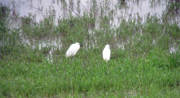 30.06.16. Little Egrets, No.5 tank, Frodsham Marsh. Bill Morton. Bill Morton