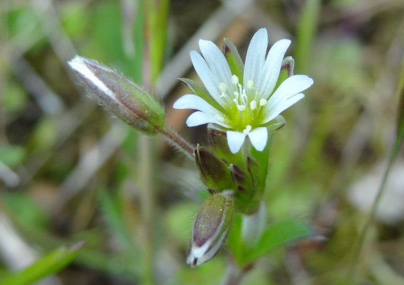 Common Mouse-ear Cerastium fontanum Frodsham Marsh May22nd16 9401
