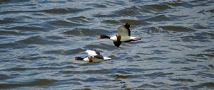 25.06.16. Common Shelducks, No.6 tank, Frodsham Marsh. Bill Morton