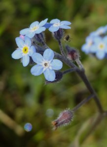 Field Forget-me-not Myosotis arvensis Frodsham Marsh May22nd16 9391