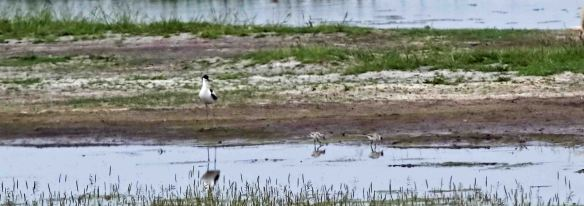 07.06.16. Avocet and chicks, Frodsham Marsh. Colin Butler