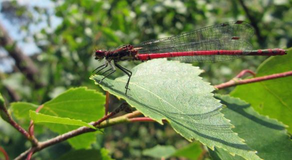 05.06.16. Large Red Damselfly, Black Lake, Delamere Forest. Bill Morton
