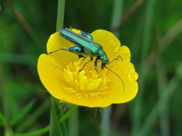 Swollen-thighed Beetle Oedemera nobilis Frodsham Marsh  May28th16 9590