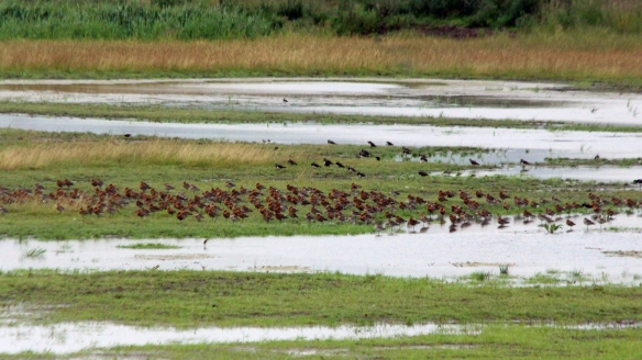 16.07.16. Black-tailed Godwits, No.3 tank, Frodsham Marsh. Paul Ralston (2)