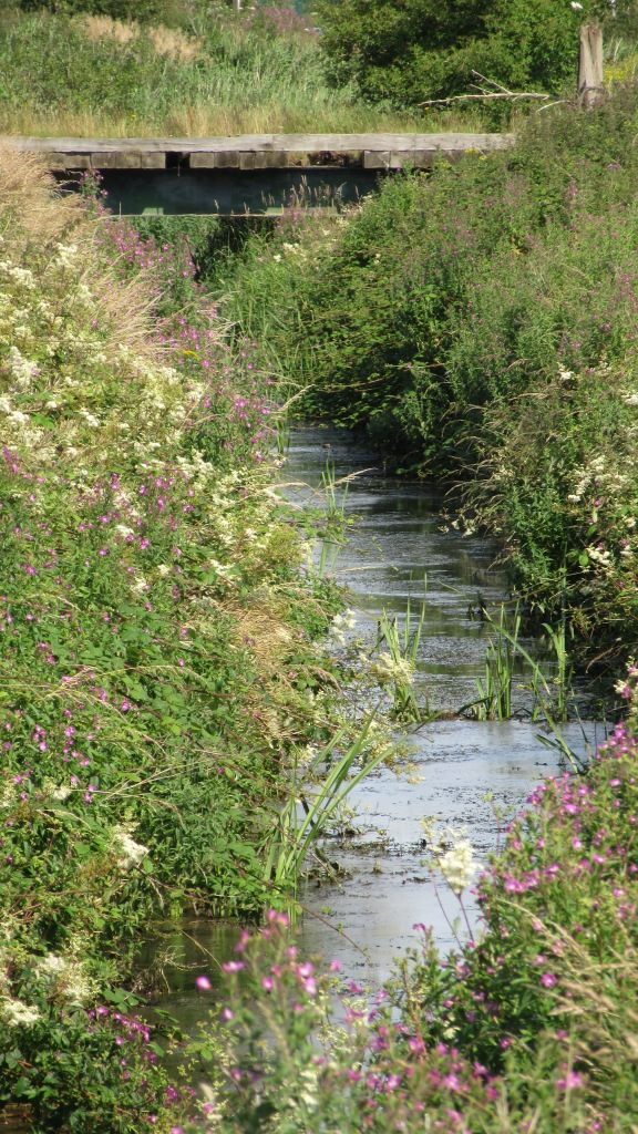 17.07.16. Ditch along Moorditch Lane, Frodsham Marsh. Bill Morton (4)