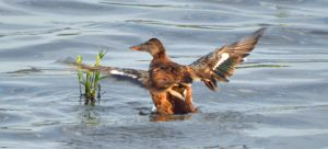19.07.16. Shoveler, No.6 tank, Frodsham Marsh. Bill Morton (1)