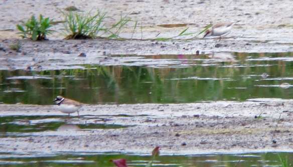 21.07.16. Little Ringed Plovers, No.3 tank, Frodsham Marsh. Bill Morton (1)
