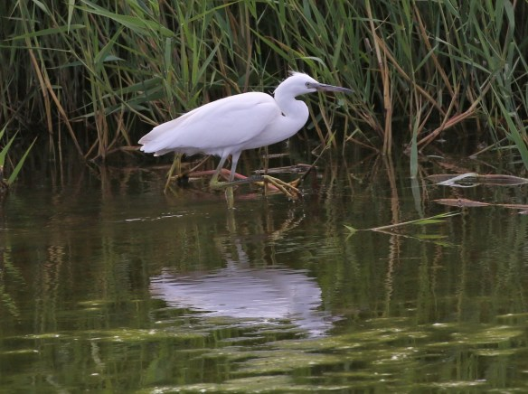Little Egret, No.6 tank, Frodsham Marsh. Tony Broome