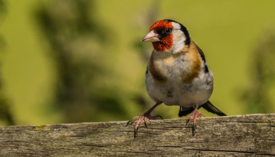 12.08.16. Goldfinch, Frodsham Marsh. Paul Crawley (1)