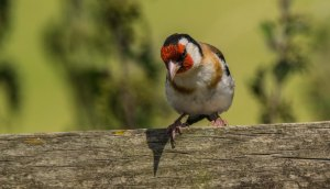 12.08.16. Goldfinch, Frodsham Marsh. Paul Crawley (4)