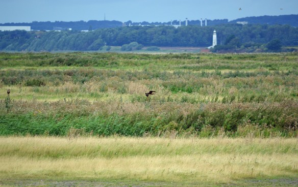 20.08.16. female Marsh Harrier, No.3 tank, Frodsham Marsh. Bill Morton (6)