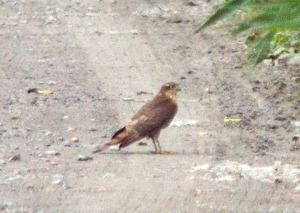 20.08.16. Juvenile Sparrowhawk, No.3 tank, Frodsham Marsh. Bill Morton (5)