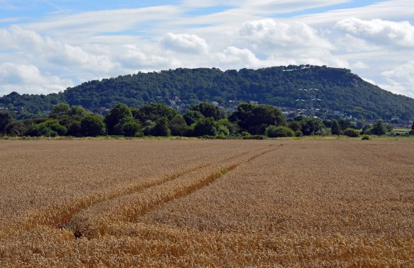 21.08.16. Helsby Hill and wheat field from Lordship Lane, Frodsham Marsh. Bill Morton