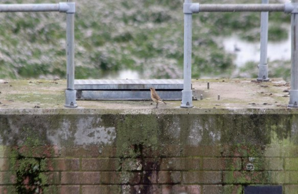 21.08.16. Wheatear, No.6 tank, Frodsham Marsh. Paul Ralston (1)