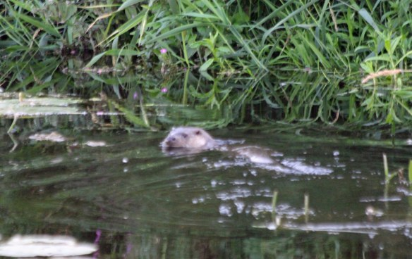 24.08.16. Otter, Gowy Meadows. Paul Ralston (1)