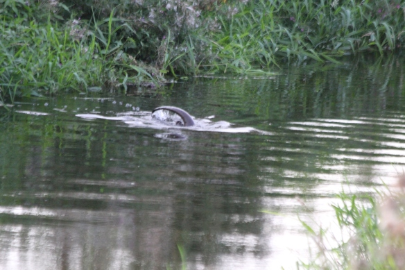 24.08.16. Otter, Gowy Meadows. Paul Ralston (2)