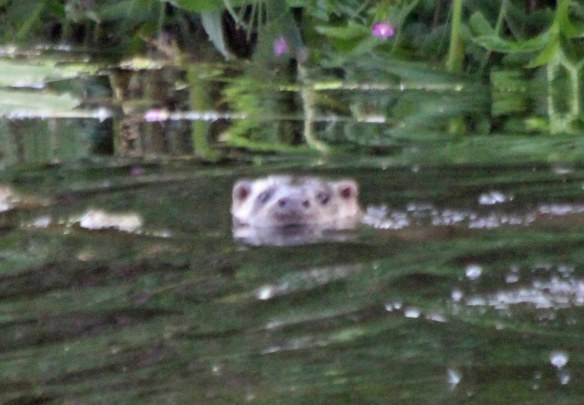 24.08.16. Otter, Gowy Meadows. Paul Ralston (5)