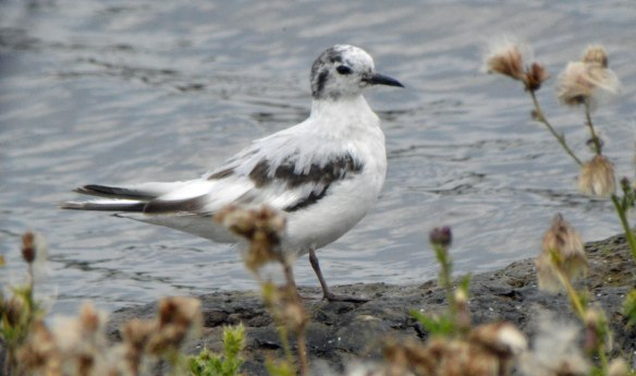 27.08.16. 1st summer Little Gull, Weaver Bend, Frodsham Marsh. Bill Morton