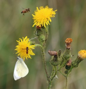 27.08.16. White and Hoverflies, Frodsham Marsh. Paul Ralston
