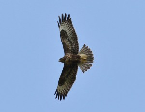 28.08.16. Common Buzzard, Frodsham Marsh. Tony Broome (4)