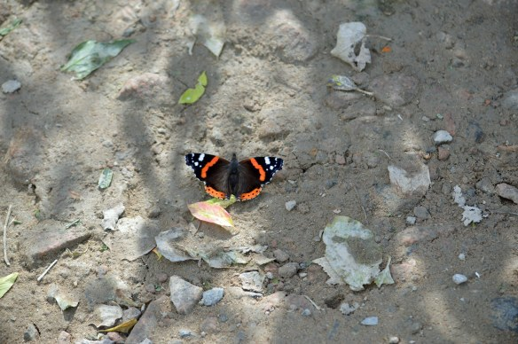 12-09-16-red-admiral-no-5-tank-frodsham-marsh-bill-morton-2