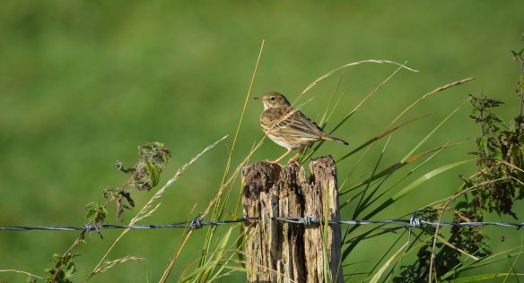 17-09-16-meadow-pipit-no-1-tank-frodsham-marsh-bill-morton