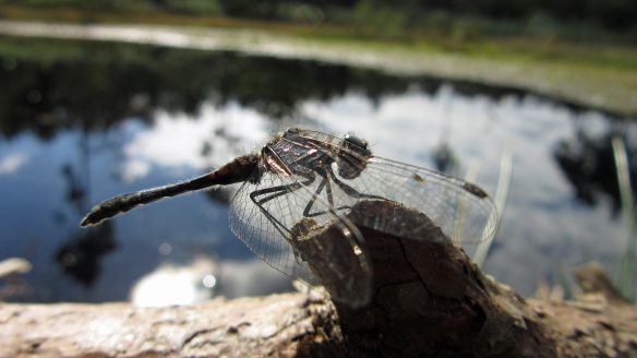 18-09-16-black-darter-black-lake-delamere-forest-bill-morton-19