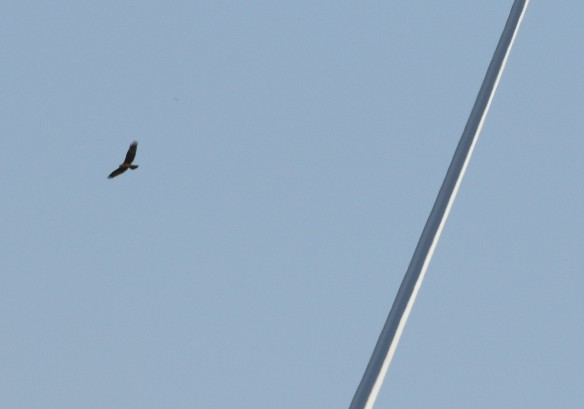 18-09-16-buzzard-and-turbines-frodsham-marsh-tony-broome-1