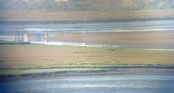 18-09-16-great-white-egrets-on-frodsham-score-frodsham-marsh-bill-morton-2