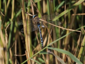 18-09-16-migrant-hawker-frodsham-marsh-tony-broome-2