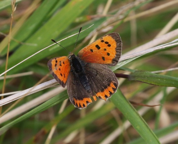 18-09-16-small-copper-frodsham-marsh-tony-broome-1