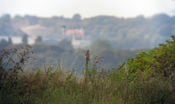 22-09-16-kestrel-no-5-tank-frodsham-marsh-bill-morton-1