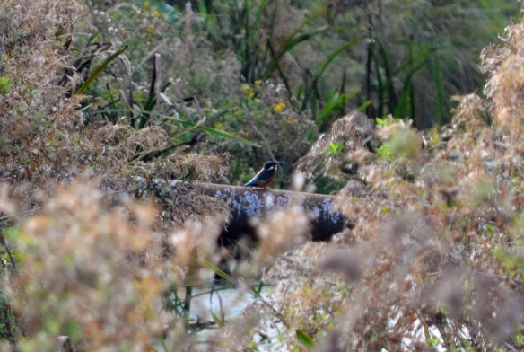 27-09-16-kingfisher-moorditch-lane-frodsham-marsh-bill-morton-2