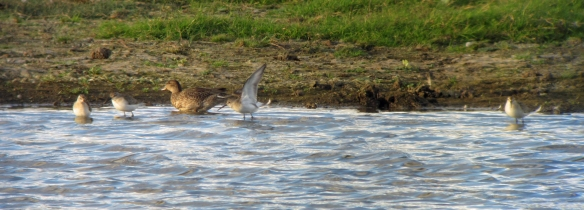 29-10-16-curlew-sandpipers-juvs-no-3-tank-frodsham-marsh-bill-morton-2