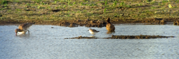 29-10-16-curlew-sandpipers-juvs-no-3-tank-frodsham-marsh-bill-morton-32